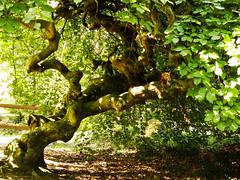 Faux de Verzy (InLoveWithSnow) Tags: fauxdeverzy verzy arbre tordu nature