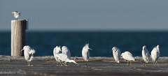 Snowy Egrets (stephaniepluscht) Tags: alabama 2016 fort morgan snowy egret egrets