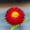 Fall Color, red and yellow (vern Ri) Tags: red yellow nikon d750 flora blumen fleur