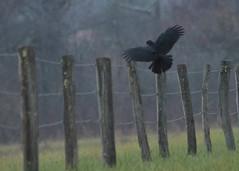 foggy Cove morning (hennessy.barb) Tags: crow cadescove grreatsmokeymountains fence fenceline flight landing