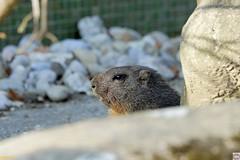 Murmeltier (auschmid) Tags: auschmid slta99 sal70400g tierpark dhlhlzli bern schweiz tiere marmotta murmeltier theperfectx
