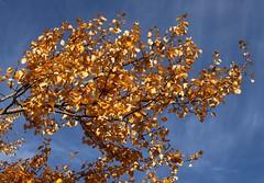 Golden autumn (Tina K) Tags: brach sky bl himmel blue yellow gren leaves hst fall