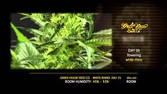 White Rhino - Green House Grow Sessions (kmobocunib1970) Tags: amsterdam arjan cannabis cannabisd company green greenhouse greenhouseseeds grow house kush kushcannabis og seed seeds video