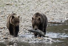 Follow The Leader (T0nyJ0yce) Tags: grizzlybear brownbear ursusarctoshorribilis cub sow family salmonrun bears westcoast fishing salmon fish bearcub grizzly tamron150600 canon7dmarkii
