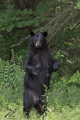 Hello there! (Seventh day photography.ca) Tags: blackbear bear animal wildanimal wildlife predator mammal ontario canada summer woods forest