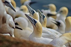 Gannets Basstlpel 7 (heiko.moser (+ 10.600.000 views )) Tags: basstlpel gannets vogel vgel bird birds oiseau txori fugl lintu ocell uccello ean noog ptica acellu ptak passaro pasare fagel vtk pjaro ndege madar aderyn natur nature natura nahaufnahme outdoor helgoland german deutschland canon closeup color heikomoser