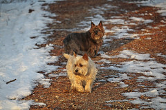 Jeter & Sedum - 11/28/16 (myvreni) Tags: vermont autumn fall nature animals dogs cairnterriers pets