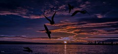 Sunrise for the Birds (beachpeepsrus) Tags: shore sky sunrise shorefront sihlouette seagull flight beach birds