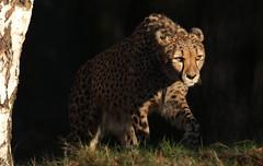 cheetah Beekse Bergen JN6A4783 (j.a.kok) Tags: cheetah jachtluipaard acinonyxjubatus acinonyxjubates beeksebergen mammal zoogdier predator afrika africa