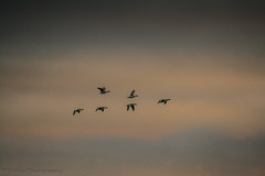 gaggle of geese (Tclicks Photography) Tags: geese birds bird flying flight sky clouds formation nature migrate