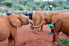 """Holding Hands"" - Elephant orphans at the David Sheldrick Wildlife Trust - Nairobi, Kenya. (One more shot Rog) Tags: sheldrick davidsheldrick davidsheldrickwildlife daphne sheldrickelephantsinfantsorphanagelovetogethernesstogethersafarinaturecaredavid elephant orphanage trunks tusks nairobi kenya africa"