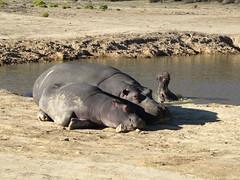 Nilpferde (@ FS Images) Tags: tieresdafrikatieparklandwasser nilpferd liegend sonnend mutterundkind nilpferdausdemfasser