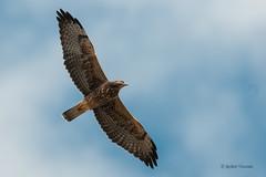 Swainson's Hawk (sunnyf16) Tags: swainsonshawk swainsons hawk raptor birdofprey bird soar robertvisconti sunnyf16 prairie grassland migration nikon nikonprime naturephotography nature northamerica