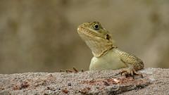 Agama Lizard (jaytee27) Tags: agamalizard kololigambia naturethroughthelens