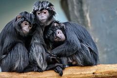 So happy together (DirkVandeVelde back) Tags: europa europ europe belgie belgium belgica belgique biologie antwerpen anvers antwerp animalia animal indoor mammalia zoogdieren primates primaten apen singe apes sony haplorhini chordata