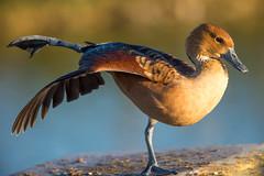 Tai-Chi-Chuan (Jacques GUILLE) Tags: 09 anatids ansriformes arige dendrocygnabicolor dendrocygnefauve domainedesoiseaux fulvouswhistlingduck mazres bird oiseau
