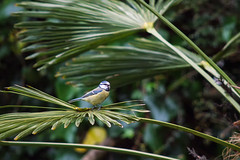 Bird in the Palm (Philip McErlean) Tags: bluetit cyanistescaeruleus birds palm tree trachycarpus fortunei hardy belfast northern ireland