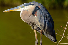 Great Blue Heron (Explored) (Astral Will) Tags: bird eye heron bill feathers explore greatblueheron hunched explored
