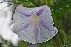 Fr ein paar Tage klinke ich mich hier bei Flickr einmal aus..... (Uli He - Fotofee) Tags: nikon rosen makro rosenblatt garten uli ulrike regen wein frauenmantel sommerregen ringelblume hergert prachtwinde nachdemregen nikond90 gartenparadies fotofee amtagalsderregenkam ulrikehe ulrikehergert ulihe