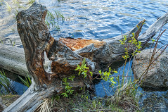 Stumped (Quincey Deters) Tags: lake plant canada tree nature june rock horizontal landscape flora outdoor alberta stump northamerica 2009 allrightsreserved pyramidlake quinceydeters