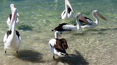 You Go Away! (Jocey K) Tags: pelicans water birds river labrador australia queensland surfersparadise goldcoast triptoqueenslandbrisbane