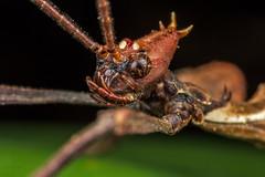 Perseid passenger? #2 (affectatio) Tags: macro bug insect leaf stick stickinsect extatosoma tiaratum extatosomatiaratum spinyleafinsect leafinsect mpe65