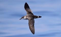 Great Shearwater (Puffinus gravis) (Ian N. White) Tags: southafrica capetown atlantic pelagic puffinusgravis greatshearwater ardennagravis