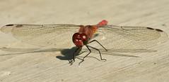 Blutrote Heidelibelle, Sympetrum sanguinieum (staretschek) Tags: libelle heidelibelle blutroteheidelibelle segellibelle rotelibelle groslibelle sympetrumsanguinineum