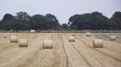 harvest time 01 (byronv2) Tags: field countryside farm wheat harvest crop rolls agriculture falkirk harvesting