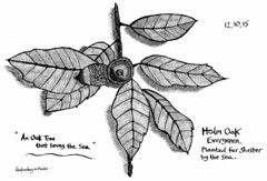 Holm Oak (hoxtonboy) Tags: tree leaf acorn holmoak ironoakgallink