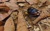 Wanderer (sphaisell) Tags: insect ecuador beetle cloudforest loscedros