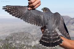 Adult Female Merlin (npaprock) Tags: female adult nevada merlin hawkwatch migration falco taiga falcocolumbarius columbarius goshutes