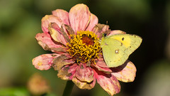 Last meal before winter (El.buitre) Tags: autumn flower nature yellow butterfly insect essen herbst natur eat gelb meal blume insekt schmetterling