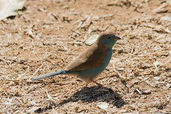 Kruger 2015 (2702 of 3082).JPG (mike.jdawes) Tags: holiday bird kruger 2015 waxbill bluewaxbill