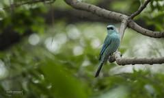 Verditer Flycatcher (saqibmahmood1) Tags: birds pakistan 55250 punjab canon 60d verditer flycatcher birdsofpakistan wildllifelove