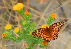 variegated fritillary near Kadoka in badlands SD 854A0188 (lreis_naturalist) Tags: flower butterfly south variegated badlands dakota fritillary kadoka gumweed