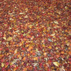 So many leaves! (SplashH2O) Tags: autumn red orange fall wet leaves yellow season many ground rainy covered layer scattered covering carpeted