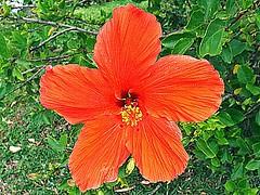 Hibiscus Rosa-Sinensis - Hibisco - Florianpolis-SC - Fotografado por Regis Silbar em 31-12-2012 (Regis Silbar) Tags: florianpolis flor hibisco hibiscusrosasinensis florvermelha