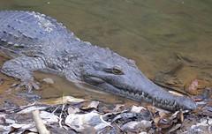 Freshwater Crocodile (Crocodylus johnstoni) (shaneblackfnq) Tags: nt australia western crocodile croc wa gorge kimberly northern freshie territory freshwater crocodylus johnstons windjana shaneblack johnstoni