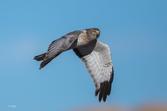 Northern Harrier 004 (Tang Heng) Tags: