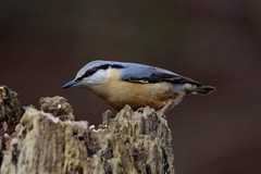 IMGP1420 Nuthatch, Lackford Lakes, December 2015 (bobchappell55) Tags: wild bird woodland suffolk wildlife lakes trust nuthatch lackford