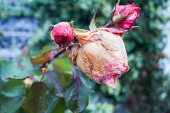 DieTeufelsRoseinFarbe (vipes15) Tags: winter flower rose dead herbst teufel verwittert autuum witterung