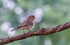House Finch (male) (tkclip47) Tags: house finch male tree perch local