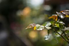 20161009_F0001: After autumn rain (wfxue) Tags: rain wet water droplets droplet weather garden plant leafs autumn bokeh