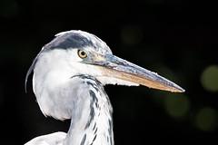 Heron Wilhelma Stuttgart (hanspartes) Tags: tiere vgel reiher heron animal bird black schwarz stuttgart