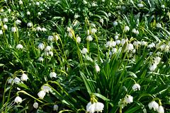 campanule (Enrico.ico) Tags: campanule enrico enricoico montanari ico nikon nikond3200 d3200 green white verde bianco garden denma denmark copenaghen flow flower flowers fiori fiore