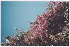 (misandriatemporal) Tags: pink purple sky flower tree green blue explore sunny happy