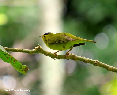 """Chipe Corona Negra / Wilson Warbler """"Wilsonia pusilla"""""""