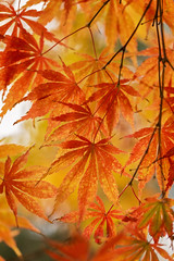 Think Delicately (Synapped) Tags: review autumn fall leaf leaves japanese maple gold red vertical