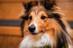 Vani-koira (Tuomo Lindfors) Tags: koira dog shetlanninlammaskoira sheltti shetlandsheepdog sheltie iisalmi suomi finland iisalmenkaupunginkirjasto iisalmicitylibrary topazlabs clarity dxo filmpack platinumheartaward